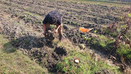 海老芋親芋掘ってます、富田林、里芋、レシピ
